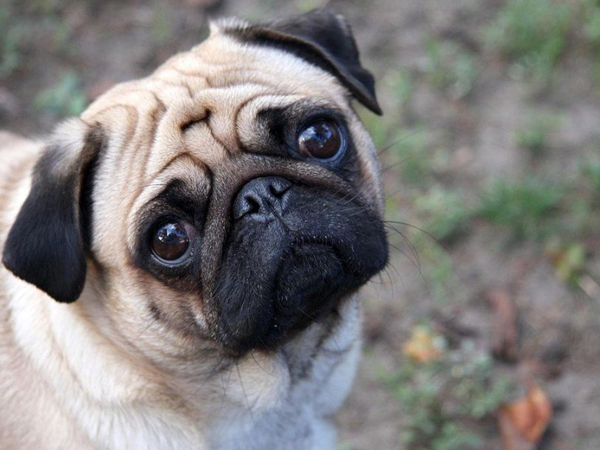 ps_1024px-Sad-pug_polit.ru-600x450